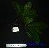 (Kjellbergiodendron - XM_0550)  @11 [ ] CreativeCommons - Attribution Non-Commercial Share-Alike (2013) Cam Webb, Endro Setiawan & Hery Yanto Arnold Arboretum of Harvard University