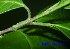 (Kopsia - XM_0581)  @11 [ ] CreativeCommons - Attribution Non-Commercial Share-Alike (2013) Cam Webb, Endro Setiawan & Hery Yanto Arnold Arboretum of Harvard University