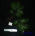 (Elattostachys - XM_0591)  @11 [ ] CreativeCommons - Attribution Non-Commercial Share-Alike (2013) Cam Webb, Endro Setiawan & Hery Yanto Arnold Arboretum of Harvard University