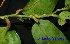 (Putranjivaceae - XM_0604)  @11 [ ] CreativeCommons - Attribution Non-Commercial Share-Alike (2013) Cam Webb, Endro Setiawan & Hery Yanto Arnold Arboretum of Harvard University
