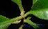 (Lecythidaceae - XM_0609)  @11 [ ] CreativeCommons - Attribution Non-Commercial Share-Alike (2013) Cam Webb, Endro Setiawan & Hery Yanto Arnold Arboretum of Harvard University