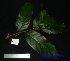 (Inocarpus - XM_0641)  @11 [ ] CreativeCommons - Attribution Non-Commercial Share-Alike (2013) Cam Webb, Endro Setiawan & Hery Yanto Arnold Arboretum of Harvard University