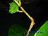 (Kingiodendron - XM_0650)  @11 [ ] CreativeCommons - Attribution Non-Commercial Share-Alike (2013) Cam Webb, Endro Setiawan & Hery Yanto Arnold Arboretum of Harvard University