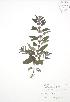 (Mentha - BAR042A)  @11 [ ] Copyright (2009) Unspecified University of Guelph BIO Herbarium