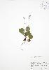 (Orthilia - BAR031)  @11 [ ] Copyright (2009) Unspecified University of Guelph BIO Herbarium