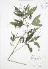 ( - JAG 0828)  @11 [ ] Copyright (2009) Unspecified University of Guelph BIO Herbarium