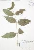 (Diervilla - BAR159)  @11 [ ] Copyright (2009) Unspecified University of Guelph BIO Herbarium
