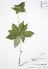 (Medeola virginiana - BAR101)  @11 [ ] Copyright (2009) Unspecified University of Guelph BIO Herbarium
