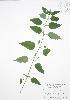 (Scutellaria - BAR209)  @11 [ ] Copyright (2009) Unspecified University of Guelph BIO Herbarium