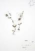 (Veronica anagallisaquatica - JAG 0641)  @11 [ ] Copyright (2009) Unspecified University of Guelph BIO Herbarium