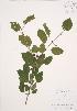 ( - AP296)  @11 [ ] Copyright (2009) Unspecified University of Guelph BIO Herbarium