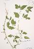 (Solanum nigrum - AP297)  @11 [ ] Copyright (2009) Unspecified University of Guelph BIO Herbarium