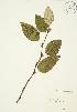 (Populus balsamifera - AP376)  @11 [ ] Copyright (2009) Unspecified University of Guelph BIO Herbarium