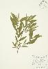 ( - AP155)  @11 [ ] Copyright (2009) Unspecified University of Guelph BIO Herbarium