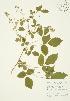( - AP084)  @11 [ ] Copyright (2009) Unspecified University of Guelph BIO Herbarium