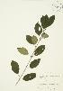 ( - JAG 0332)  @11 [ ] Copyright (2009) Unspecified University of Guelph BIO Herbarium