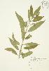 ( - JAG 0345)  @11 [ ] Copyright (2009) Unspecified University of Guelph BIO Herbarium