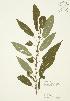 ( - JAG 0321)  @11 [ ] Copyright (2009) Unspecified University of Guelph BIO Herbarium