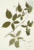( - JAG 0387)  @11 [ ] Copyright (2009) Unspecified University of Guelph BIO Herbarium