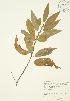 ( - JAG 0392)  @11 [ ] Copyright (2009) Unspecified University of Guelph BIO Herbarium