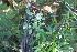 (Porophyllum - IBO-DEMATT-07)  @11 [ ] Copyright (2014) IBONE IBONE