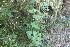 (Hochreutinera - IBO-DEMATT-10)  @11 [ ] Copyright (2014) IBONE IBONE