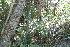 (Pityrogramma - IBO-DEMATT-11)  @11 [ ] Copyright (2014) IBONE IBONE