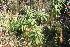(Solanum granulosum-leprosum - IBO-DEMATT-37)  @11 [ ] Copyright (2014) IBONE IBONE