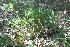 (Psilopsida - IBO-DEMATT-39)  @11 [ ] Copyright (2014) IBONE IBONE