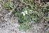 (Solanum commersonii subsp malmeanum - IBO-DEMATT-51)  @11 [ ] Copyright (2014) IBONE IBONE