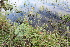 (Dicliptera - IBO-DEMATT-52)  @11 [ ] Copyright (2014) IBONE IBONE
