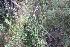 (Conyza - IBO-DEMATT-68)  @11 [ ] Copyright (2014) IBONE IBONE