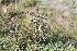 (Pluchea sagittalis - IBO-DEMATT-81)  @11 [ ] Copyright (2014) IBONE IBONE