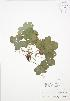(Waldsteinia - BAR179)  @11 [ ] Copyright (2009) Unspecified University of Guelph BIO Herbarium