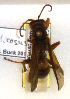 (Polistes bellicosus - PMAE0286)  @12 [ ] Unspecified (default): All Rights Reserved  Unspecified Unspecified
