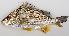 (Pomadasys multimaculatum - M011-002)  @11 [ ] Copyright (c) (2013) D. Ponton IRD