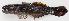 (Bathygobius bathygobius - M018-024)  @11 [ ] Copyright (c) (2013) D. Ponton IRD