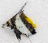 (Heniochus sp - M036-010)  @11 [ ] Copyright (c) (2014) D. Ponton IRD