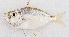 (Leiognathus sp - M050-030)  @11 [ ] Copyright (c) (2014) D. Ponton IRD