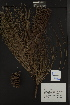 ( - PNCA0096)  @12 [ ] CreativeCommons - Attribution Non-Commercial Share-Alike (2010) David Sebastian Gernandt Universidad Nacional Autonoma de Mexico, Instituto de Biologia