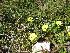 (Tuberaria - NBGW6047)  @11 [ ] CreativeCommons - Attribution (2012) National Botanic Garden of Wales National Botanic Garden of Wales