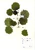 (Populus tremula - NBGW6032)  @11 [ ] Unspecified (default): All Rights Reserved  Unspecified Unspecified