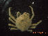 (Libinia spinosa - BOPD_PRIMBA 024)  @11 [ ] CreativeCommons – Attribution Non-Commercial Share-Alike (2014) Unspecified Laboratorio de Zoología de Invertebrados