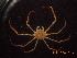 (Leurocyclus - BOPD_PRIMBA 051)  @11 [ ] CreativeCommons – Attribution Non-Commercial Share-Alike (2014) Unspecified Laboratorio de Zoología de Invertebrados