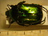 (Protaetia affinis - BC-PNEF-PSFOR0215)  @11 [ ] Copyright (2013) Thierry Noblecourt Laboratoire National d'Entomologie Forestière, Quillan, France