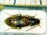 (Marolia - BC-PNEF-PSFOR0238)  @11 [ ] Copyright (2013) Thierry Noblecourt Laboratoire National d'Entomologie Forestière, Quillan, France