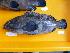 (Cephalopholis formosa - C. farmosa-37 Kuantan)  @14 [ ] Copyright (2012) Rajiv USM