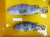 (Epinephelus akaara - E.akaara-70 B.Pancor)  @13 [ ] Copyright (2012) Rajiv USM