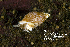 (Amphissa - BIOUG12670-F09)  @14 [ ] CreativeCommons - Attribution Non-Commercial Share-Alike (2018) Kara Layton Biodiversity Institute of Ontario