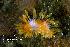(Polyceridae - CCDB22758-H07)  @14 [ ] CreativeCommons - Attribution Non-Commercial Share-Alike (2014) Kara Layton Biodiversity Institute of Ontario